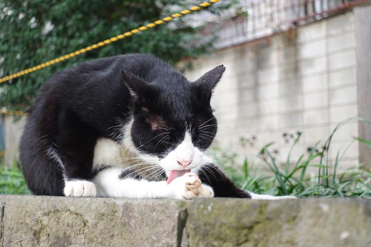 一所懸命毛づくろいしている大きな白黒ネコ