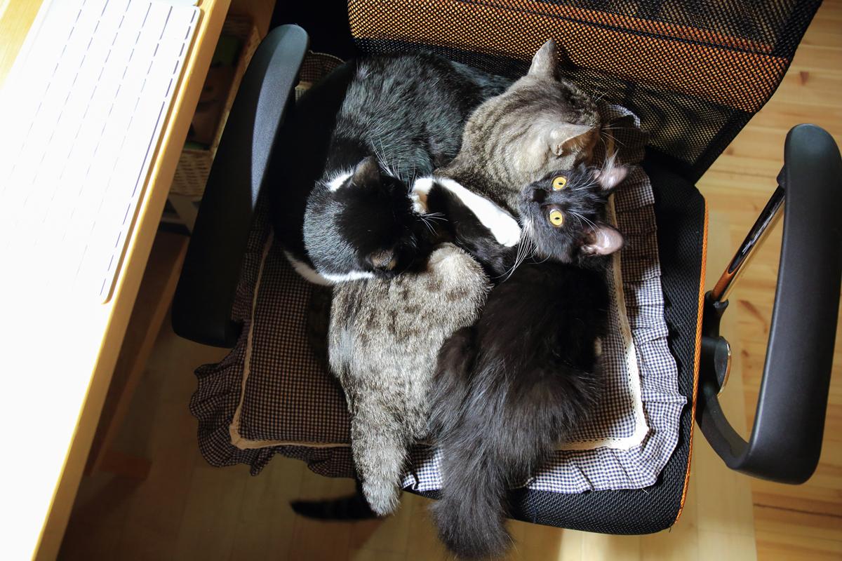 椅子にネコが3匹団子になっている