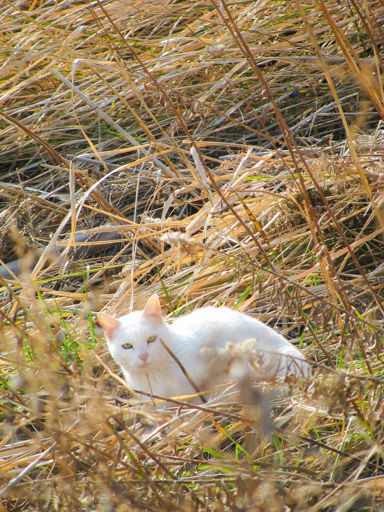 枯れ草の中の白いネコ