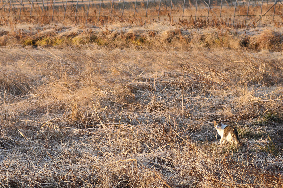 荒れた畑の中からこちらを振り返るネコ