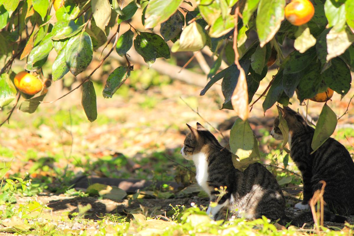 柿の実のなる木陰で休むネコたち