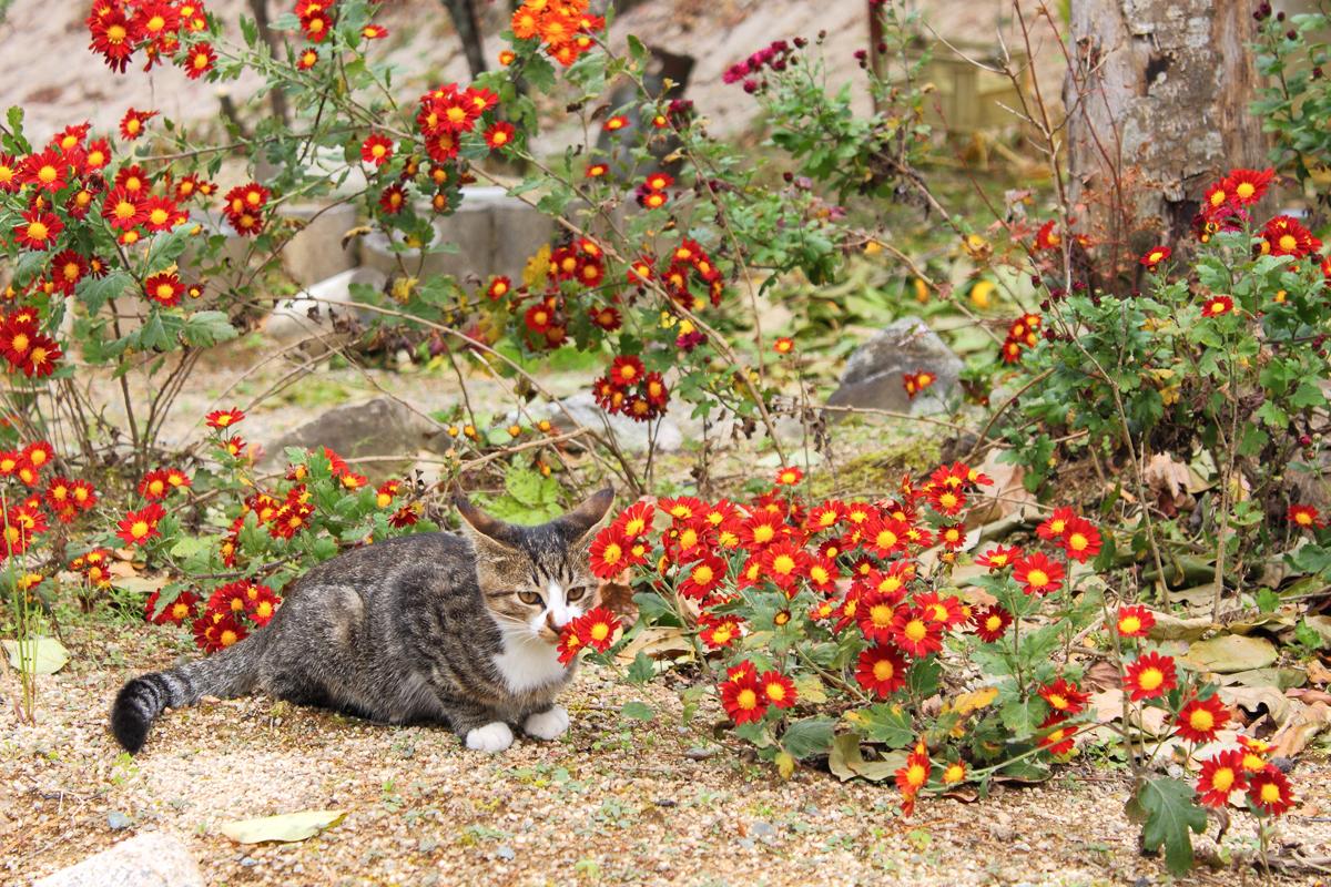 赤い菊とイカミミの子ネコ