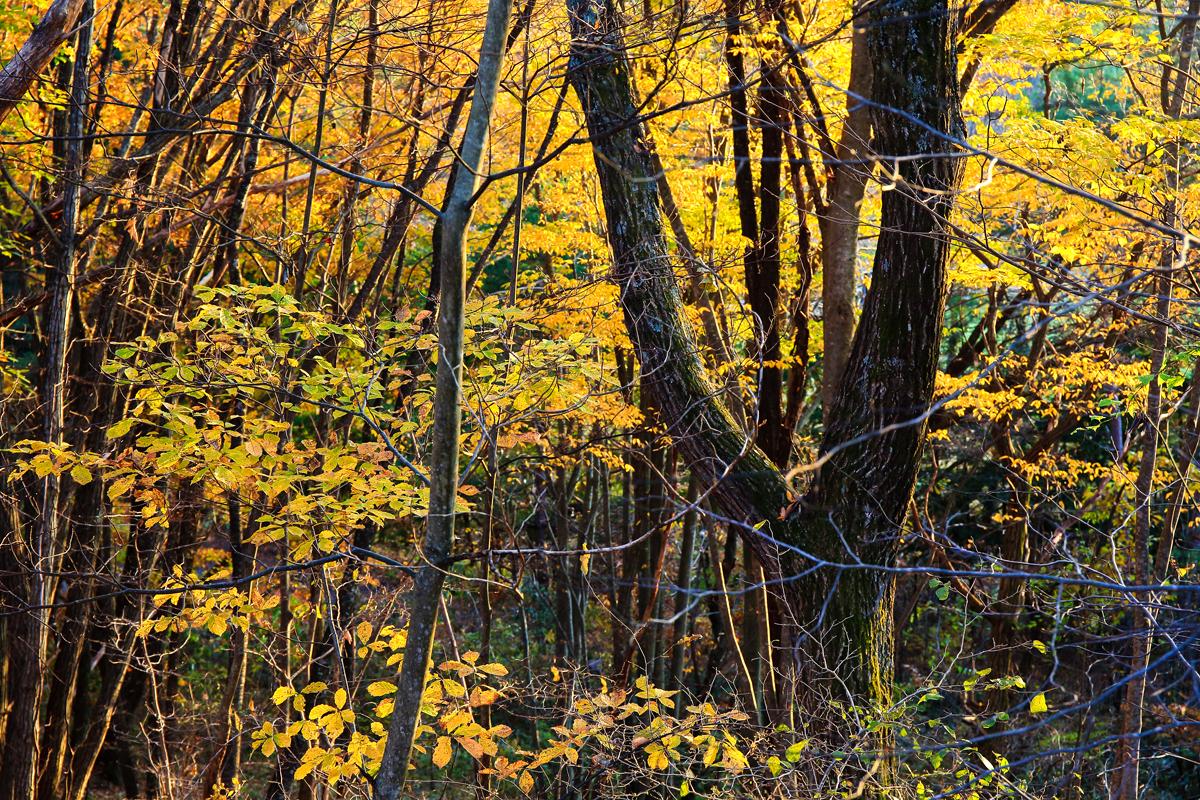 黄色く染まる林