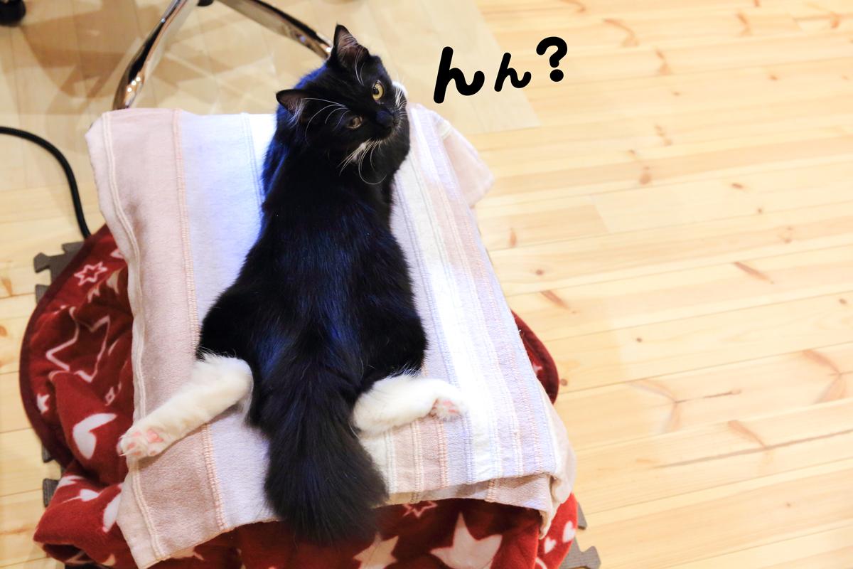 猫こたつの上で足を90度に広げているそぼろ