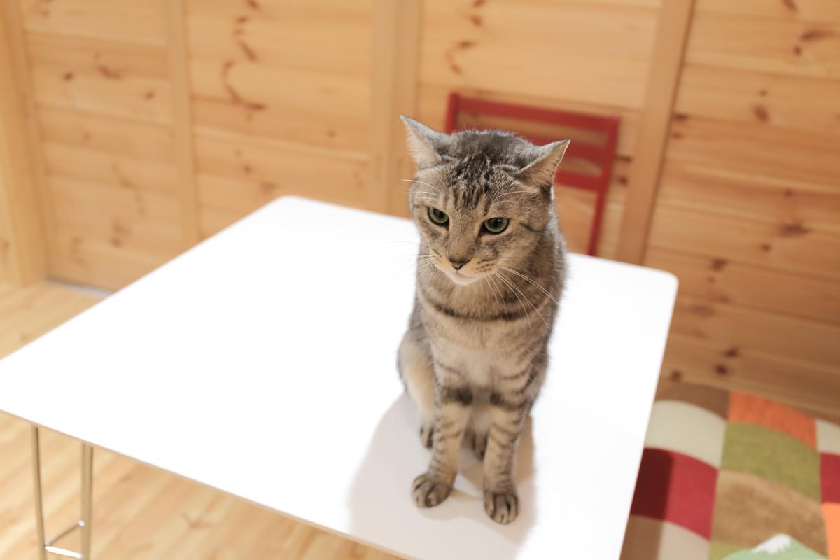 テーブルの上のチノ