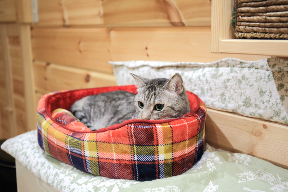 猫ベッドにうずくまるチノ