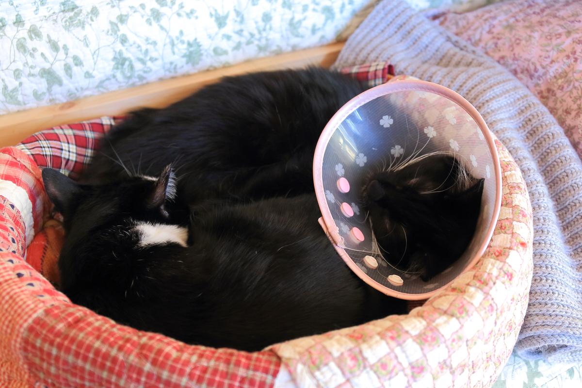 猫ベッドでピノと丸くなる