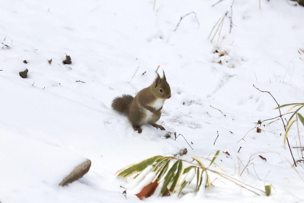 雪の中立ち止まるリス